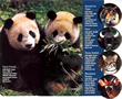 Photo of Giant Pandas