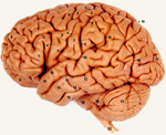 Photo of the Brain