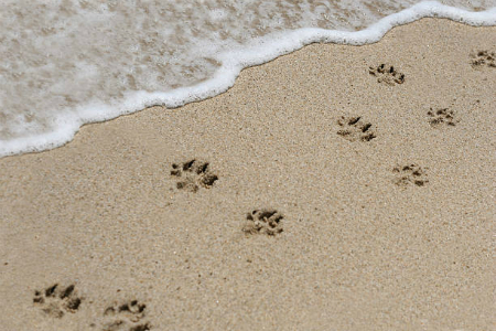 Picture of dog prints in sand on beach